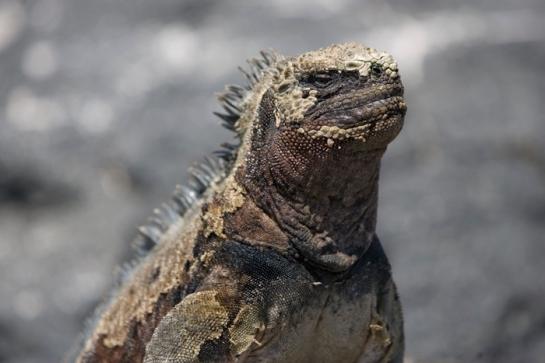iguane-meditant-au-soleil-floreana