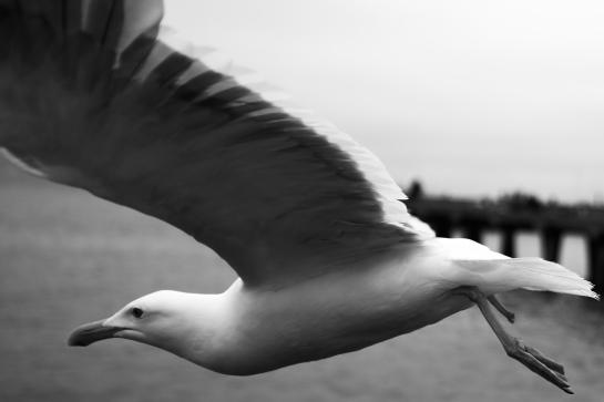 one-legged seagull